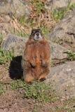 Marmot dichtbij de rotsen Stock Foto's