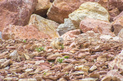 Marmot die in de rotsen leven Stock Foto