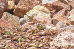 Marmot die in de rotsen leven Royalty-vrije Stock Fotografie