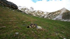 Marmot die dichter aan de camera worden stock video