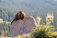 Marmot die op Rots bij de Bovenkant van Onderstel Evans, Colorado rusten Royalty-vrije Stock Foto's