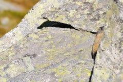 Marmot die uit een kei piept Royalty-vrije Stock Foto