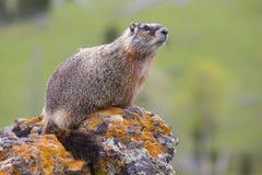 Marmot die uit over rotsen kijken Stock Fotografie