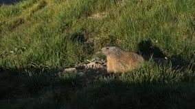 Marmot die van de ochtendzon genieten Stock Foto's