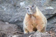 Marmot die zich waakzaam bij rotsbasis bevinden Stock Afbeeldingen