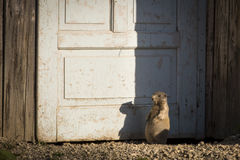 Marmot on a door of house in Dolomites Moutain, Italy Stock Images