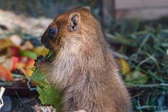 Marmot eating a cabbadge, carrot and apple on grass. Marmot eating a cabbadge, carrot and apple in nature stock photography