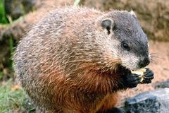 Marmot eating Stock Photography