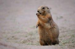 Marmot eating grass. In zoo Stock Photos