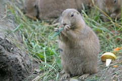 The marmot eating grass. Zoo Royalty Free Stock Image
