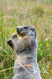 Marmot while eating Royalty Free Stock Image