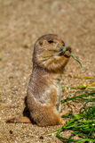 Marmot eating something green leaf Royalty Free Stock Photo
