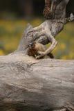 Marmot in een hoekje Stock Fotografie