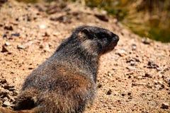 Marmot en Rocky Mountain National Park Photographie stock libre de droits