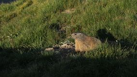 Marmot enjoying the morning sun Stock Photos