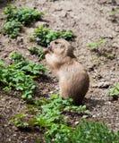 Marmot. European marmot feeding eating grass Royalty Free Stock Photos
