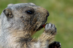 Marmot face. Marmot eating (a carrot) in french Alps Royalty Free Stock Images