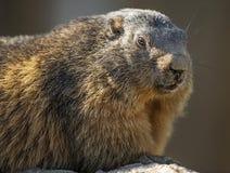 Marmot face Stock Photo