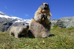 Marmot family in the mountains Stock Photography