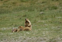 A Marmot family relaxing in the grassland of Ladakh valley Stock Photos