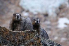 Marmot family on rocks against glacier. Stock Photo