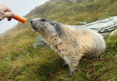 Marmot feeding Royalty Free Stock Photos