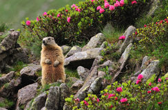 Marmot between flowers. Marmot (marmota marmota) standing in a natural alpine garden of rhododendron (Rhododendron hirsutum) flowers, grass and rocks, close to royalty free stock photo
