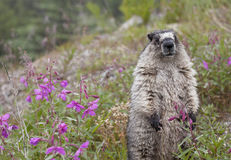 Marmot with Flowers Stock Image