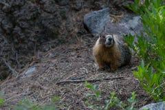 Marmot on Forest Floor stock photos