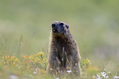 Marmot in the French Alps Stock Photos