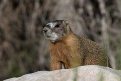 Marmot gonflé par jaune se tenant sur une roche Photographie stock libre de droits