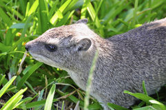Marmot in gras Royalty-vrije Stock Foto's