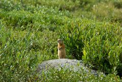 Marmot in a grass. Small marmot standing on a pile of earth in a grass Stock Photos
