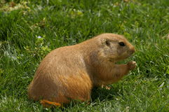 Marmot on grass. Picture of a marmot sitting on grass, taken with a telephoto lens Stock Images