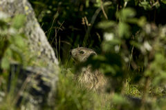 marmot in the grass Royalty Free Stock Photos