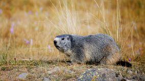 Marmot in the grass. In Mercantour National Park, val de l`Ubayette Stock Photography