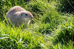 Marmot in the grass stock images