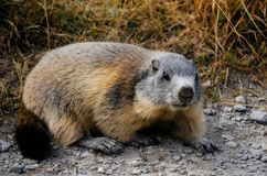 Marmot in the grass. In Mercantour National Park, val de l`Ubayette Royalty Free Stock Photo
