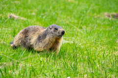 Marmot in the grass. Marmot on the slope of mountain of National park Ecrins in France Royalty Free Stock Photo