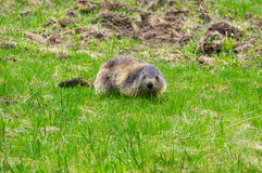 Marmot in the grass. Marmot on the slope of mountain of National park Ecrins in France Stock Photos