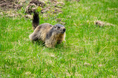 Marmot in the grass. Marmot on the slope of mountain of National park Ecrins in France Royalty Free Stock Images