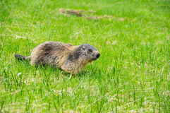 Marmot in the grass. Marmot on the slope of mountain of National park Ecrins in France Stock Image