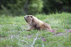 Marmot in the Grass. Wild marmot poking his head out of a hole in the grass at Olympic ational Park, Hurricane Ridge royalty free stock image