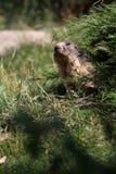 Marmot Stock Images