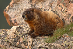 Marmot Grinning. A Yellow-bellied Marmot grinning on some rocks in the Rocky Mountains Royalty Free Stock Images