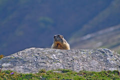 Marmot Groundhog behind a rock Stock Image