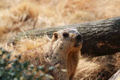 Marmot. The groundhog is the largest type of the squirrel family and is a terrestrial and burrowing herbivorous and hibernating wild animal. Marmot body coarse Royalty Free Stock Photography