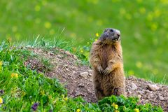 Marmot Groundhog se tenant en position d'alarme Photo stock