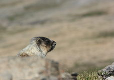 Marmot Head Royalty Free Stock Images