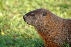 Marmot head. Close-up Royalty Free Stock Photo